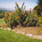 geoffs-ashes-are-scattered-under-this-bush-of-pincushion-proteas-in-the-garden-of-remembrance-in-kirstenbosch-botanical-gardens